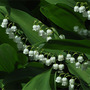 Lily of the valley 1.