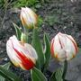 New Dwarf Tulips!!! :)