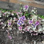 """New Ajuga """"Party Colours"""" By Decking ?"""