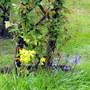 Rose Zelphirine with Bluebells & Cowslips :)