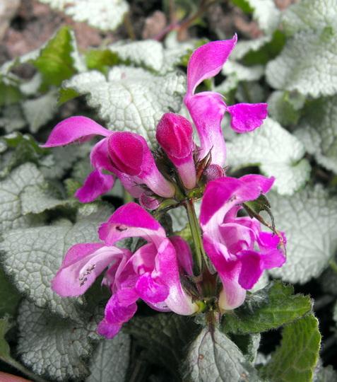 "Flower Of Lamium ""Beacon Silver"""