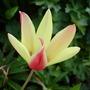 T. CYNTHIA (Tulipa clusiana (Tulip))