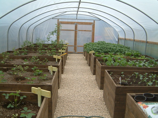 polytunnel growing nicely