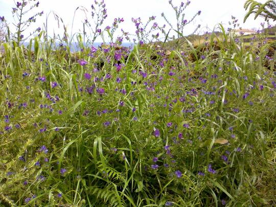 Echium Vulgare (Echium vulgare (Blue Weed))