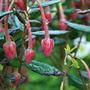 Crinodendron. (Crinodendron hookerianum (Chilean Lantern Tree))