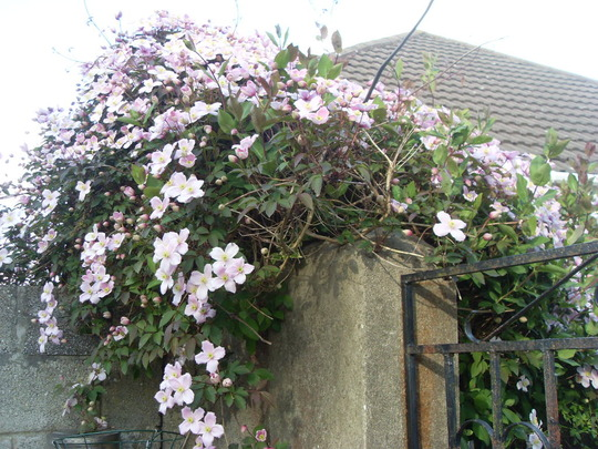 Neighbours Clematis