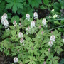 Tiarella 'foam flower'