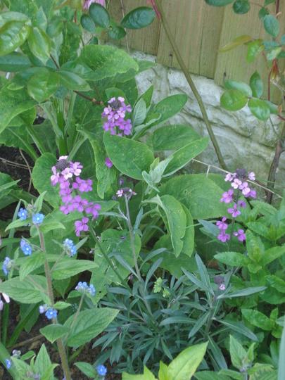 Perennial wallflower and borage