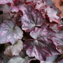 "Heuchera ""Blackberry Jam"" (Heuchera)"