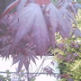 Acer Palmatum 'Bloodgood' (Acer palmatum Inabi shidare)