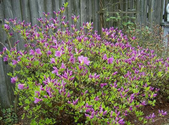 Azalea Evergreen - Girad's Fuchsia
