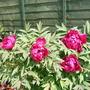 Colour Spring (Peony   Tree)