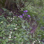 Comfrey Honesty and Bluebells
