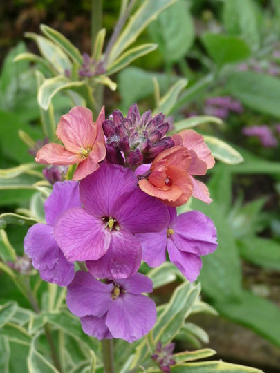 Perennial Wallflower (Erysimum bicolor (Bowles' perennial wallflower))