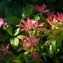 Pieris  Forest Flame (Pieris)