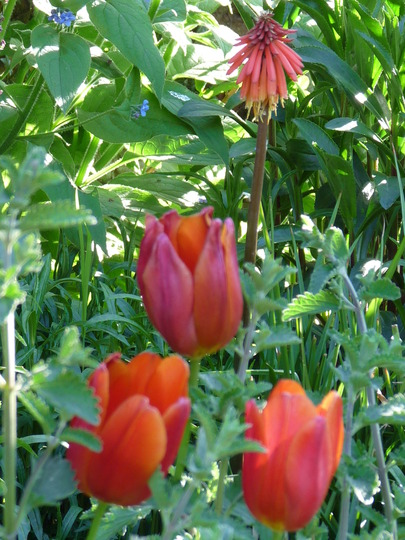 Three red Tulips and a Red Hot Poker...Lol! (Kniphofia caulescens (Red hot poker))