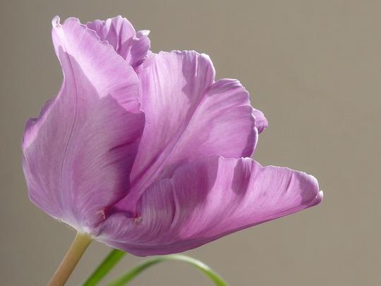 Lilac Tulip (Tulip)