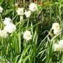 geranium (Narcissus tazetta (Tazetta Daffodil))