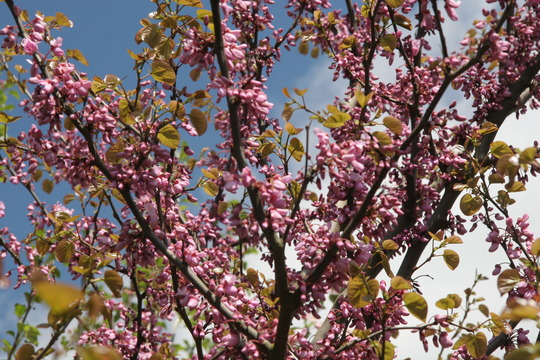 Judas Tree (Cercis siliquastrum (Judas tree))