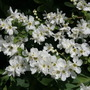 """Exochorda (Exochorda x macrantha """"The Bride"""" (Pearl bush))"""