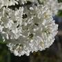 "lilac (Syringa ""Mme Lemoine"" (Lilac))"