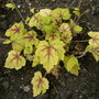 Heucherella  ' Stoplight '