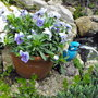 Pot Of Violas By Pond