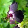 Dusky Cranesbill Flower Closer