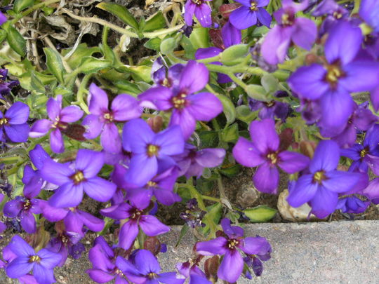 Aubretia  '  Lime Varigated '