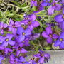 Aubretia_lime_varigated_