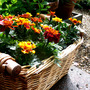 Marigolds Basket