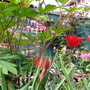 Bleeding Hearts and Tulips, Cottage feeling!
