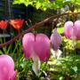 Bleeding Hearts and Tulips