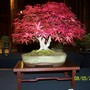 Japanese maple on display at a recent show