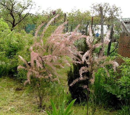 Tamarisk shrubs. (Tamarix tetranda)