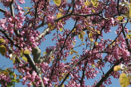 Judas Tree (Cercis siliquastrum (Judas tree))