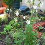 A garden flower photo (White Campion)