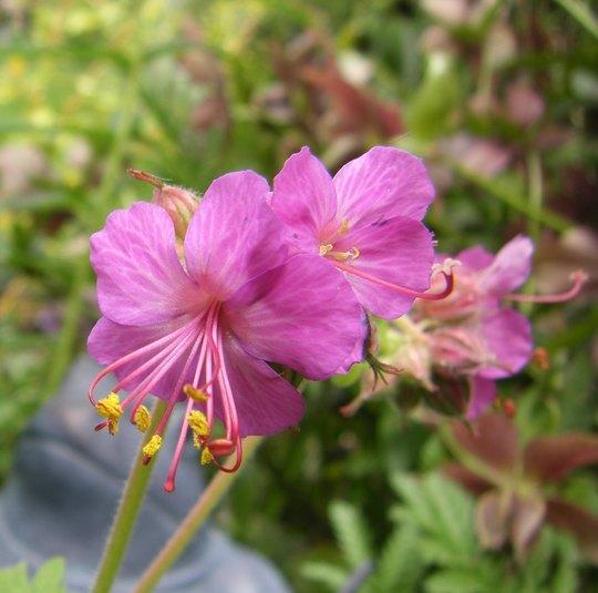 Geranium from Barbara