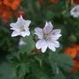 Geranium pyrenaicum 'Summer Snow' (Geranium pyrenaicum)