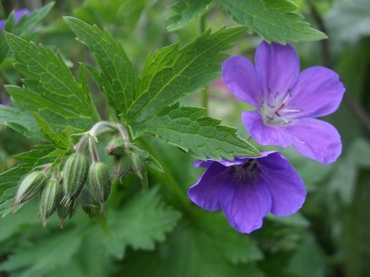 Geranium sylvaticum 'Mayflower' (Geranium sylvaticum (Bodziszek) 'Mayflower')