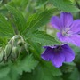 Geranium sylvaticum (Bodziszek) 'Mayflower'