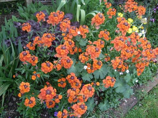 'Summer Snow' mingling with Erysimum 'Apricot Delight' (Geranium pyrenaicum)