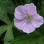 Geranium maculatum 'Beth Chatto' (Geranium maculatum 'Beth Chatto')