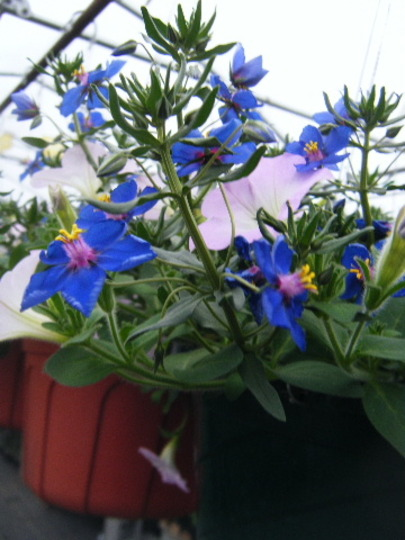 Blue Anagalis