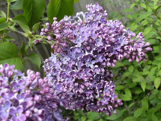 Stringa ....Mauve Lilac ..