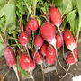 First Radishes this year 