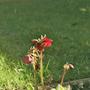 Dark Christmas rose (Helleborus orientalis)