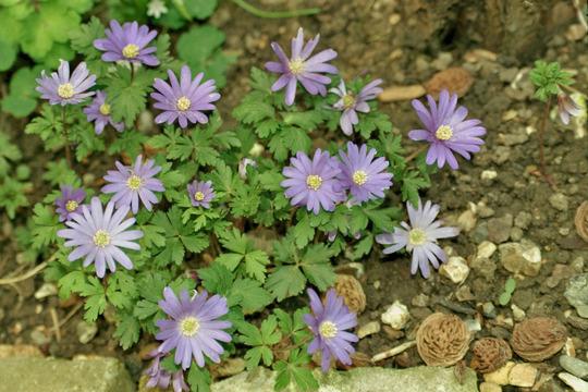 Anemone (Anemone Blanda)