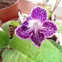 "Streptocarpus ""Web of Intrigue"""