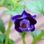 Torenia - Purple Moon